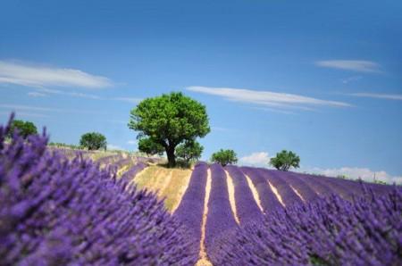 A mediados de junio el púrpura invade la Provenza, al sur de Francia
